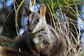 Rock Wallaby at Taronga Zoo (6762965495).jpg