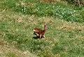 Roe Deer - geograph.org.uk - 1320784.jpg
