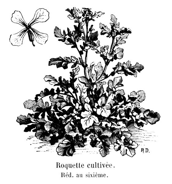 File:Roquette cultivée Vilmorin-Andrieux 1904.png