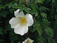Rosa-spinosissima-blomst.JPG