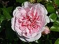 Rosa 'The Faun' J1.jpg
