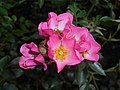 Rosa Pink Cover 2016-07-19 2991.jpg