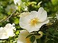 Rosa ecae (7256048256).jpg