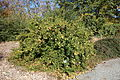 Rosa roxburghii - Quarryhill Botanical Garden - DSC03250.JPG