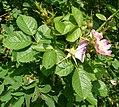 Rosa rubiginosa inflorescence (20).jpg