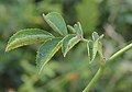 Rosa rubiginosa leaf (03).jpg