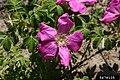Rosa rugosa inflorescence (31).jpg