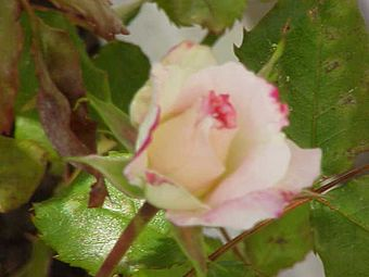 Rosa sp.17.jpg