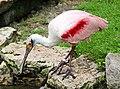 Rosalöffler im Weltvogelpark Walsrode 2H1A7931WI.jpg