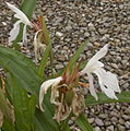 Roscoea x beesiana Monique.jpg