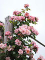 Rose, Clair Matin, バラ, クレール マタン, (15605612609).jpg