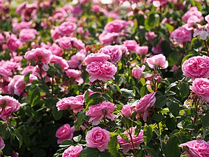 Rose, Gertrude Jekyll, バラ, ガートリュード ジェキル, (9721726923).jpg