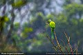 Rose-ringed parakeet1.jpg