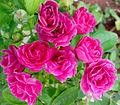 Roses 08.jpg