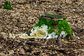 Rotten stump covered with moss fungi and slime molds - verfallener Baumstumpf mit Moos und Pilzen - 02.jpg