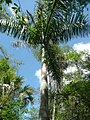 Royal-palm-tree-in-florida.jpg