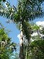 Royal-palm-tree-in-florida.jpg