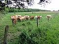 Royaucourt-et-Chailvet (Aisne) paysage avec vaches.JPG