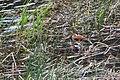 Ruddy ducks (Oxyura jamaicensis) on Floating Island Lake (461672f1-72e6-4ca5-aab7-7b64eb71cc16).jpg