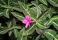 Ruellia makoyana kz1.jpg