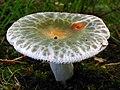 Russula parvovirescens 89306.jpg