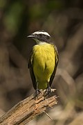 Rusty-margined flycatcher (Myiozetetes cayanensis hellmayri).jpg