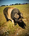 Saddleback pig, Norfolk.jpg
