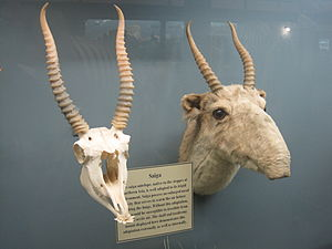 Saiga antelope - Saiga antelope skull and taxidermy mount on display at the Museum of Osteology.