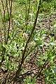 Salix lapponum kz20.jpg