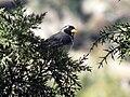 Saltador de pico dorado (Saltator aurantiirostris).jpg