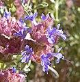 Salvia dorrii 7.jpg