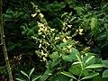 Salvia omeiana Crug Thundercloud - Flickr - peganum (3).jpg