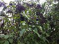 Sambucus nigra fruit 5.JPG