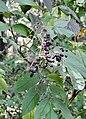 Sambucus nigra subsp canadensis - Indiana.jpg