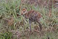 Sandhill crane chick (33764789155).jpg