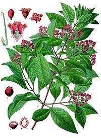 Santalum album - Köhler–s Medizinal-Pflanzen-128.jpg