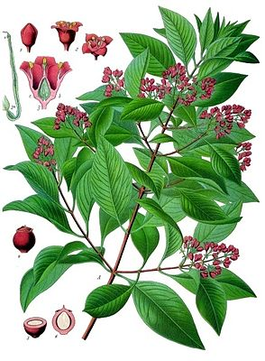 Sandelholzbaum (Santalum album), Illustration