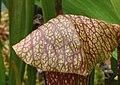 Sarracenia 'Dixie Lace' (4908484166).jpg