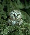 Saw Whet Owl (5062817674).jpg