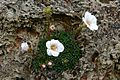 Saxifraga Flower At RHS Wisley Garden Surrey UK.jpg