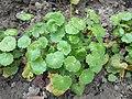 Saxifraga rotundifolia 2017-04-17 7896.jpg