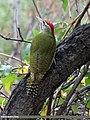 Scaly-bellied Woodpecker (Picus squamatus) (15265849304).jpg