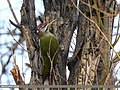 Scaly-bellied Woodpecker (Picus squamatus) (43219386811).jpg