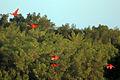 Scarlet ibis (Eudocimus ruber).jpg
