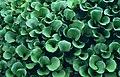 Schenley Park hyacinths (15385075085).jpg