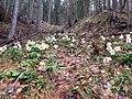Schneerosen Wald Ferlach 2010.JPG