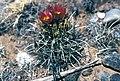 Sclerocactus cloverae fh 44 2 NM B.jpg