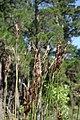 Scuspidatus-inflorescences.jpg