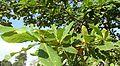 Sea almond 1.jpg