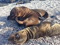 Sea lion pups in Las Loberias, Galapagos Islands 5.jpg